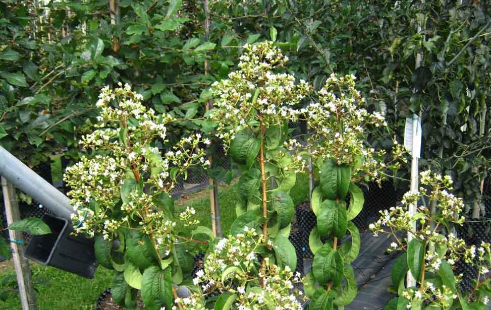 Abelia accolade aconitifolium